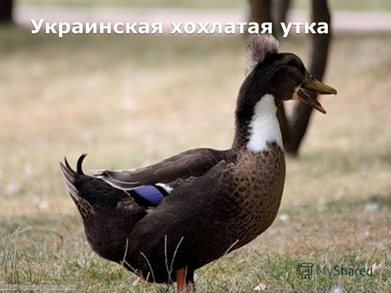 Украинская хохлатая утка