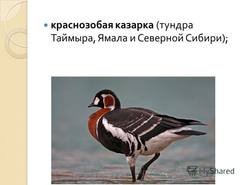 краснозобая казарка ( тундра Таймыра, Ямала и Северной Сибири );