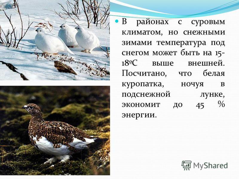 В районах с суровым климатом, но снежными зимами температура под снегом может быть на 15- 18ºС выше внешней. Посчитано, что белая куропатка, ночуя в подснежной лунке, экономит до 45 % энергии.