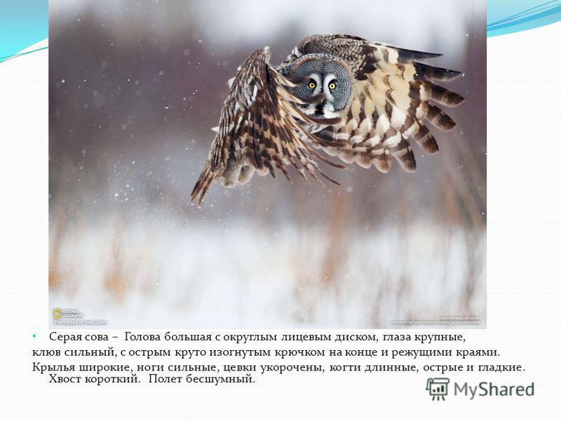 Серая сова – Голова большая с округлым лицевым диском, глаза крупные, клюв сильный, с острым круто изогнутым крючком на конце и режущими краями. Крылья широкие, ноги сильные, цевки укорочены, когти длинные, острые и гладкие. Хвост короткий. Полет бес
