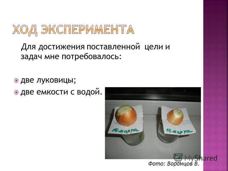 Для достижения поставленной цели и задач мне потребовалось: две луковицы; две емкости с водой. Фото: Воронцов В.