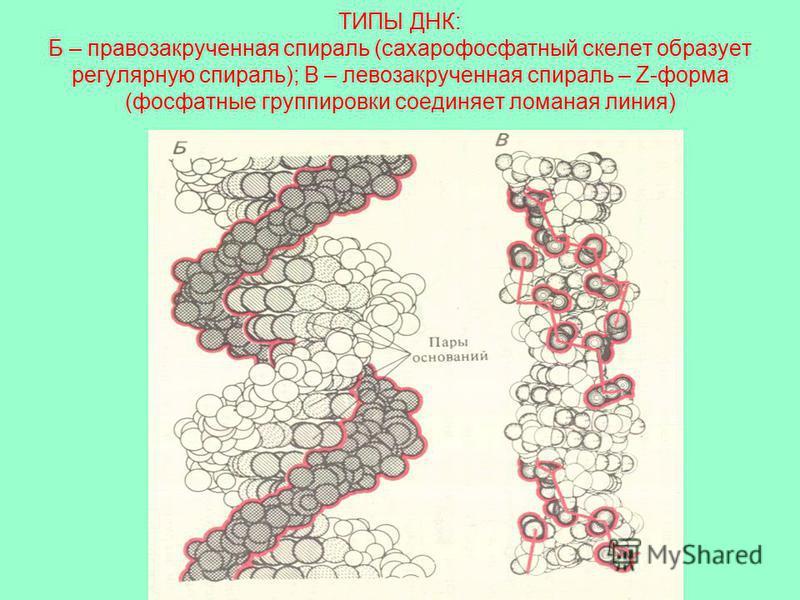 ТИПЫ ДНК: Б – правозакрученная спираль (сахарофосфатный скелет образует регулярную спираль); В – левозакрученная спираль – Z-форма (фосфатные группировки соединяет ломаная линия)
