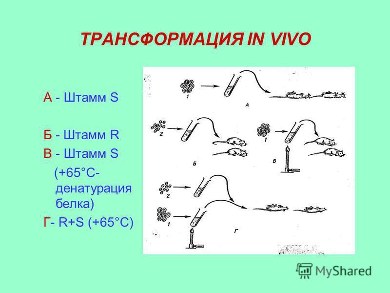ТРАНСФОРМАЦИЯ IN VIVO А - Штамм S Б - Штамм R В - Штамм S (+65°C- денатурация белка) Г- R+S (+65°C)