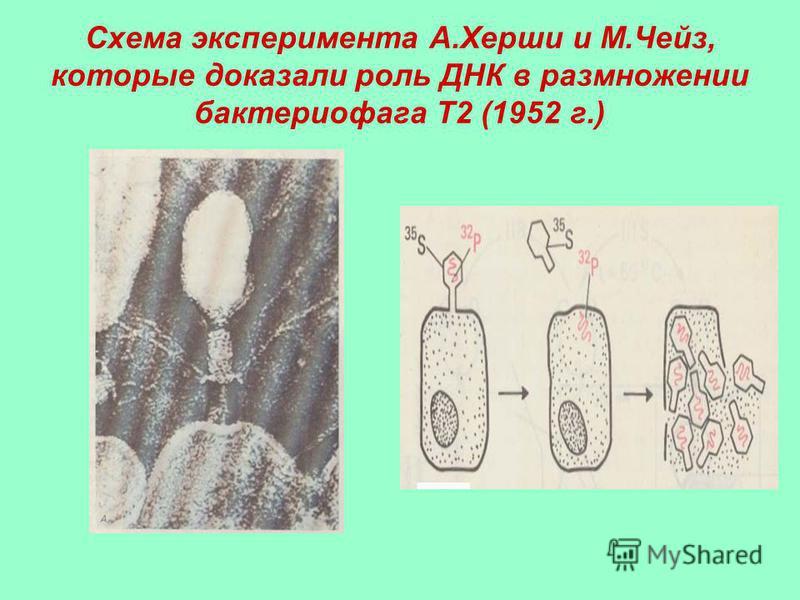 Схема эксперимента А.Херши и М.Чейз, которые доказали роль ДНК в размножении бактериофага Т2 (1952 г.)