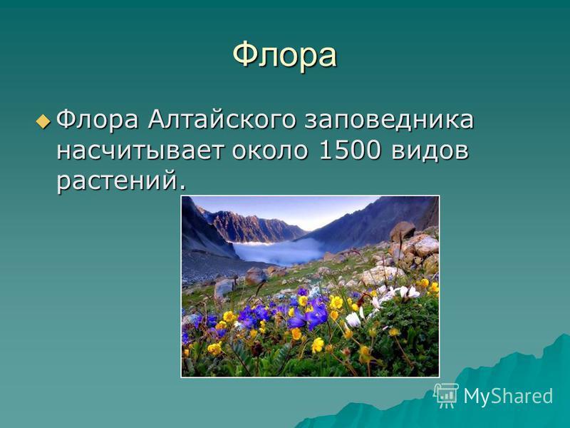 Флора Флора Алтайского заповедника насчитывает около 1500 видов растений. Флора Алтайского заповедника насчитывает около 1500 видов растений.