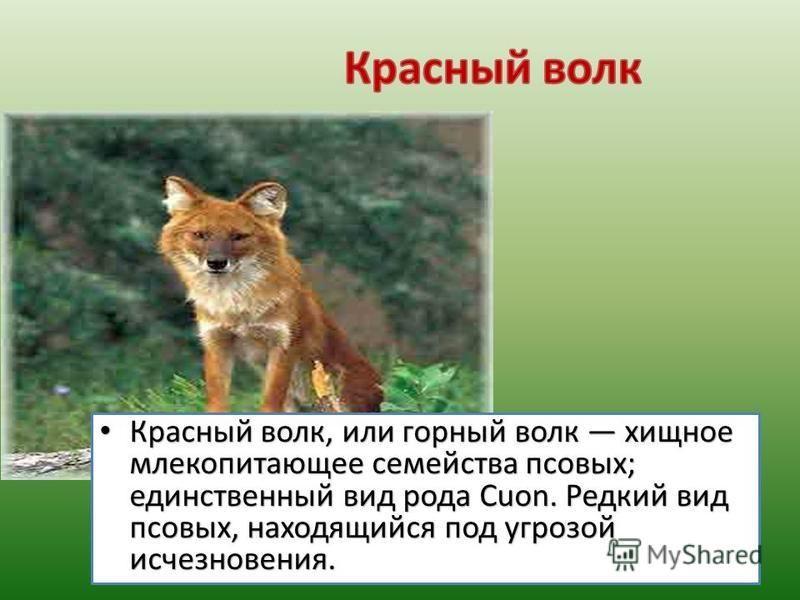Красный волк, или горный волк хищное млекопитающее семейства псовых; единственный вид рода Cuon. Редкий вид псовых, находящийся под угрозой исчезновения. Красный волк, или горный волк хищное млекопитающее семейства псовых; единственный вид рода Cuon.