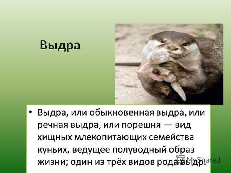 Выдра, или обыкновенная выдра, или речная выдра, или порешня вид хищных млекопитающих семейства куньих, ведущее полуводный образ жизни; один из трёх видов рода выдр. Выдра, или обыкновенная выдра, или речная выдра, или порешня вид хищных млекопитающи