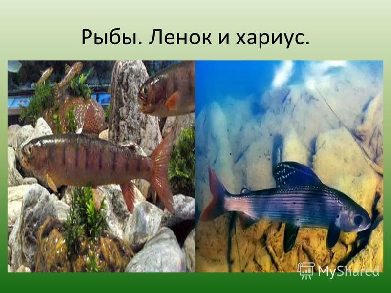 Рыбы. Ленок и хариус.