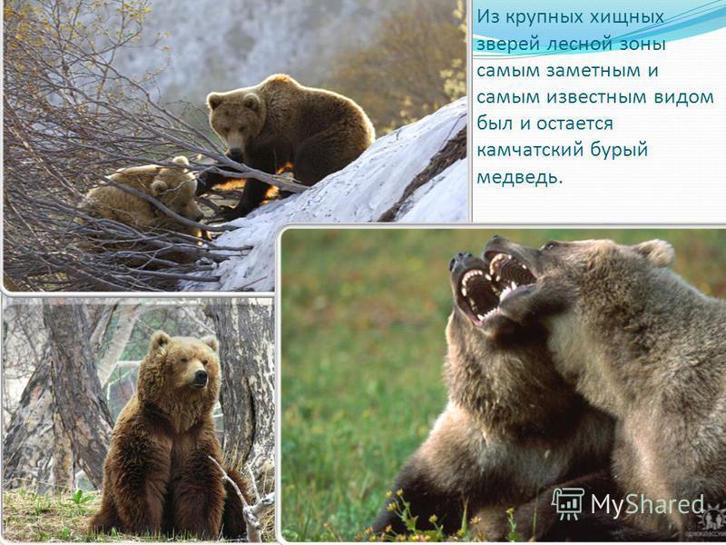 Из крупных хищных зверей лесной зоны самым заметным и самым известным видом был и остается камчатский бурый медведь.