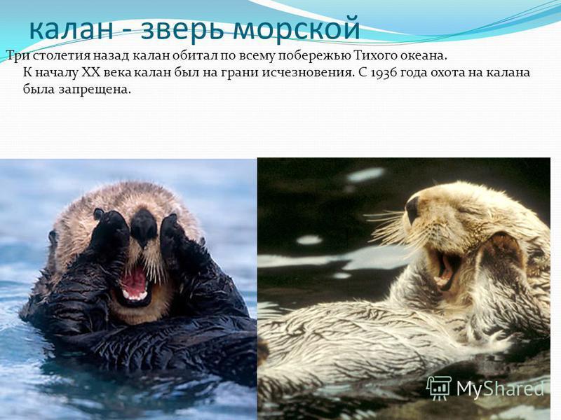 калан - зверь морской Три столетия назад калан обитал по всему побережью Тихого океана. К началу ХХ века калан был на грани исчезновения. С 1936 года охота на калана была запрещена.