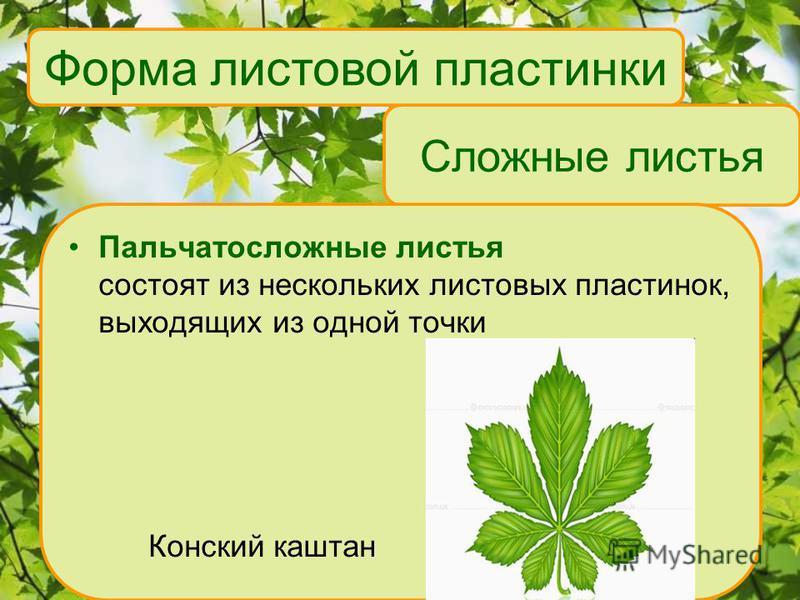 Сложные листья Пальчатосложные листья состоят из нескольких листовых пластинок, выходящих из одной точки Конский каштан Форма листовой пластинки