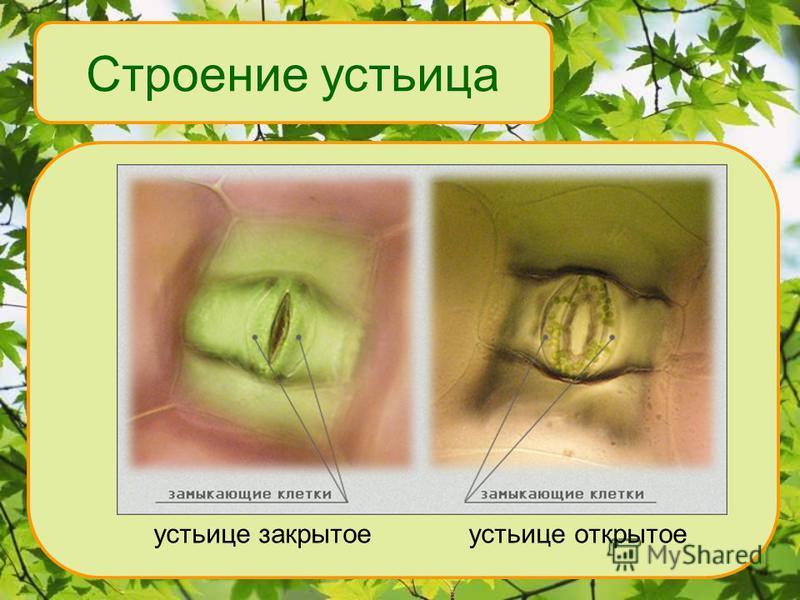 Строение устьица устьице закрытое устьице открытое