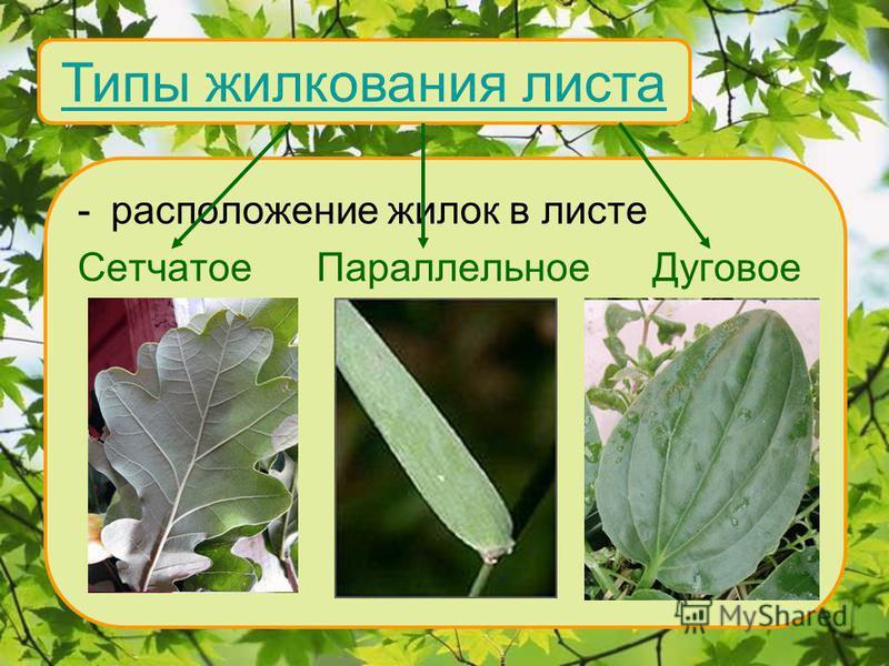 Типы жилкования листа -расположение жилок в листе Сетчатое Параллельное Дуговое