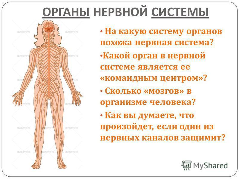 ОРГАНЫ НЕРВНОЙ СИСТЕМЫ На какую систему органов похожа нервная система ? Какой орган в нервной системе является ее « командным центром »? Сколько « мозгов » в организме человека ? Как вы думаете, что произойдет, если один из нервных каналов защемит ?