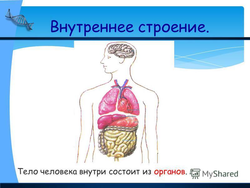 Тело человека внутри состоит из органов. Внутреннее строение.