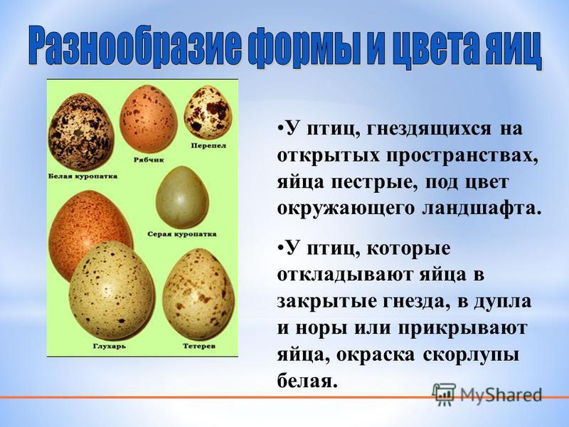 У птиц, гнездящихся на открытых пространствах, яйца пестрые, под цвет окружающего ландшафта. У птиц, которые откладывают яйца в закрытые гнезда, в дупла и норы или прикрывают яйца, окраска скорлупы белая.