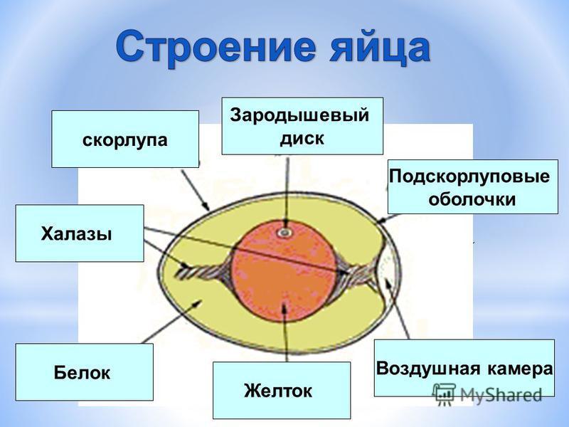 скорлупа Зародышевый диск Подскорлуповые оболочки Воздушная камера Желток Белок Халазы
