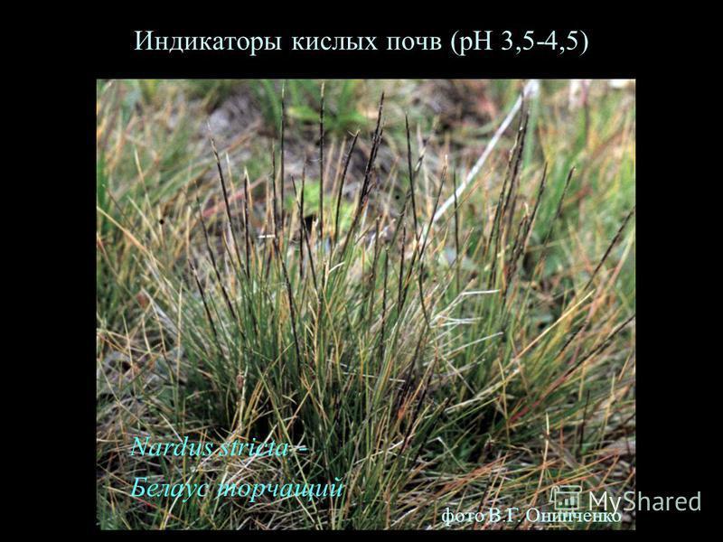 Индикаторы кислых почв (рН 3,5-4,5) Nardus stricta - Белаус торчащий фото В.Г. Онипченко