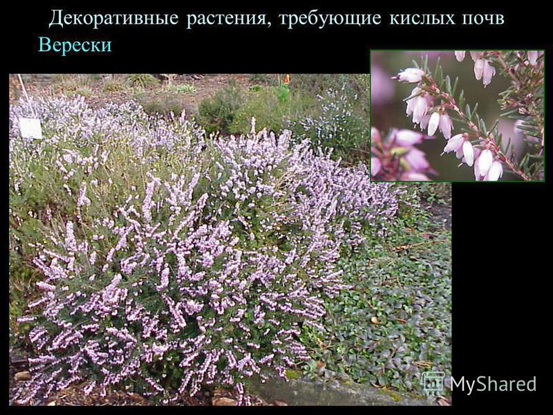 Декоративные растения, требующие кислых почв Верески