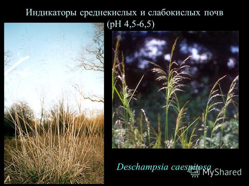Индикаторы среднекислых и слабокислых почв (рН 4,5-6,5) Deschampsia caespitosa