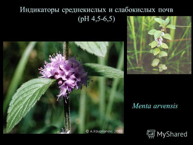 Индикаторы среднекислых и слабокислых почв (рН 4,5-6,5) Menta arvensis
