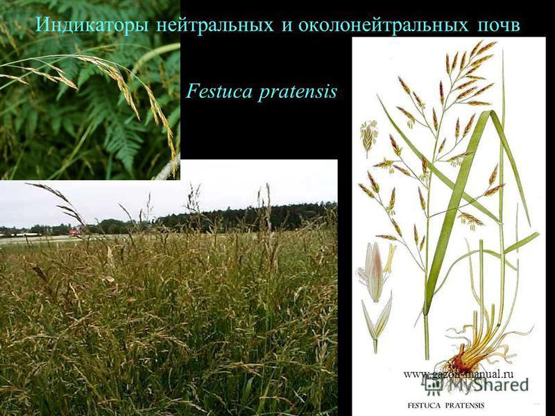 Festuca pratensis Индикаторы нейтральных и около нейтральных почв www.gazon-manual.ru