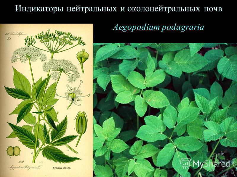 Aegopodium podagraria Индикаторы нейтральных и около нейтральных почв