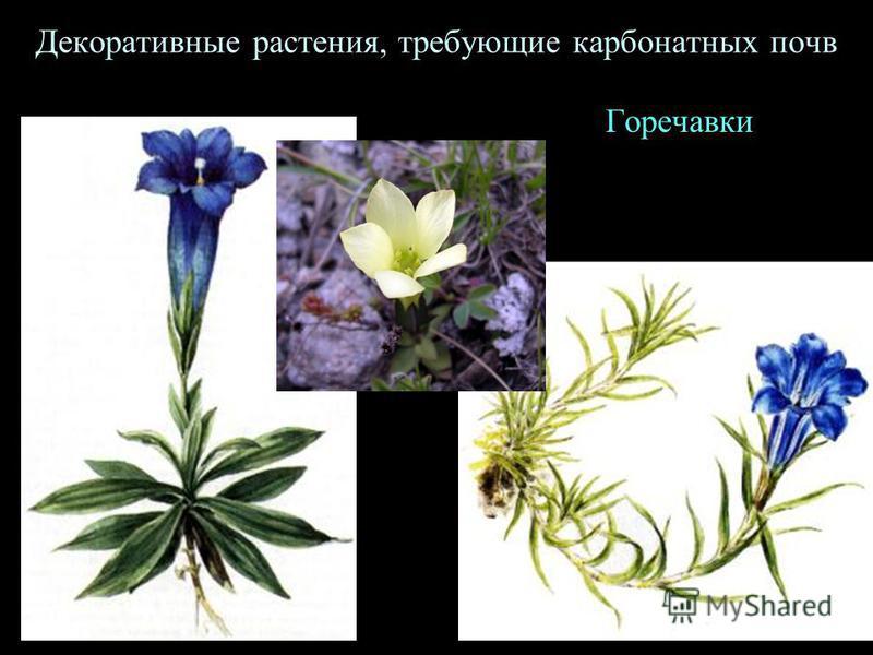 Декоративные растения, требующие карбонатных почв Горечавки
