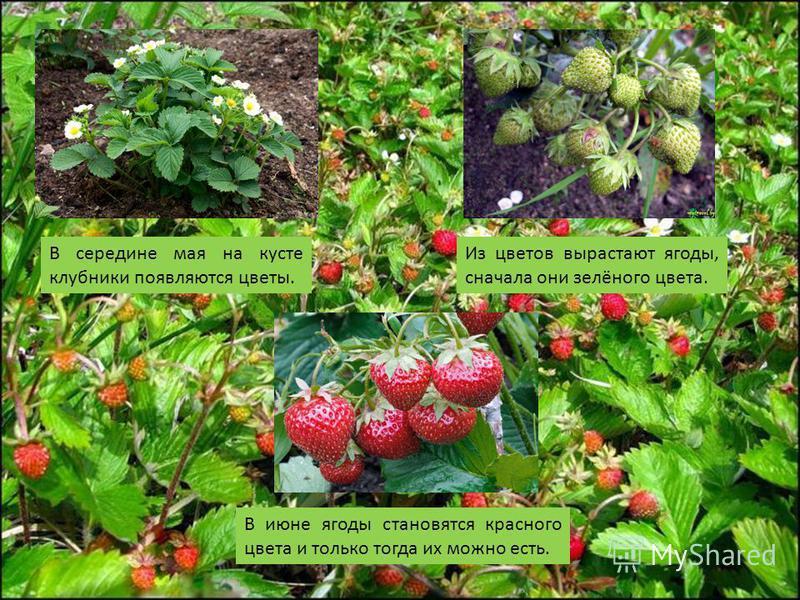 В середине мая на кусте клубники появляются цветы. Из цветов вырастают ягоды, сначала они зелёного цвета. В июне ягоды становятся красного цвета и только тогда их можно есть.