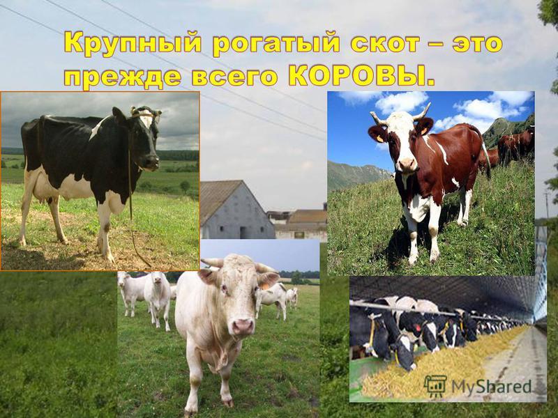 Животноводство представлено отраслями: молочное и мясное скотоводство, птицеводство, свиноводство, овцеводство, пантовое оленеводство, коневодство, пчеловодство, звероводство и рыбоводство. Скотоводство – одна из значимых отраслей животноводства, кот