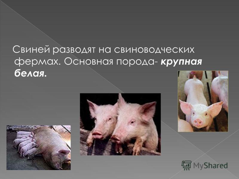 Ведущая отрасль мясного животноводства. Выращивают свиней крупной белой и других пород.