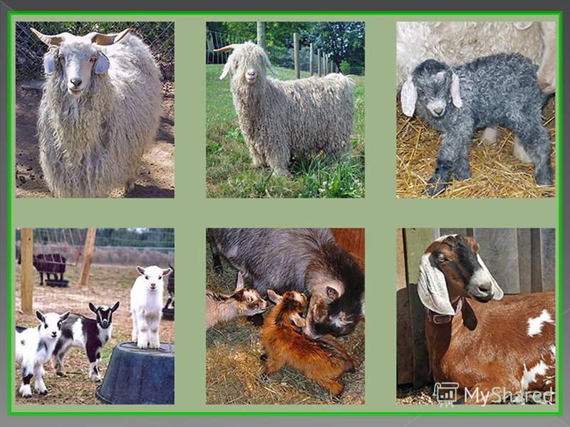 Мелкий рогатый скот – это овцы и козы. Овцы дают нам три основных продукта: мясо, молоко (из него делают сыры) и шерсть. В наши дни существует множество синтетических тканей, поэтому шерсть играет менее важную роль. В прежние времена она ценилась так