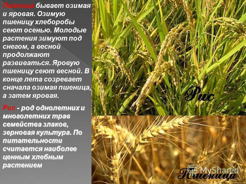 Растениеводство делится на несколько основных отраслей. Отрасль – это область деятельности человека. отрасли растениеводства. Отрасли растениеводства: Полеводство, овощеводство, плодоводство, цветоводство. Подумайте, пожалуйста, по какому признаку вы