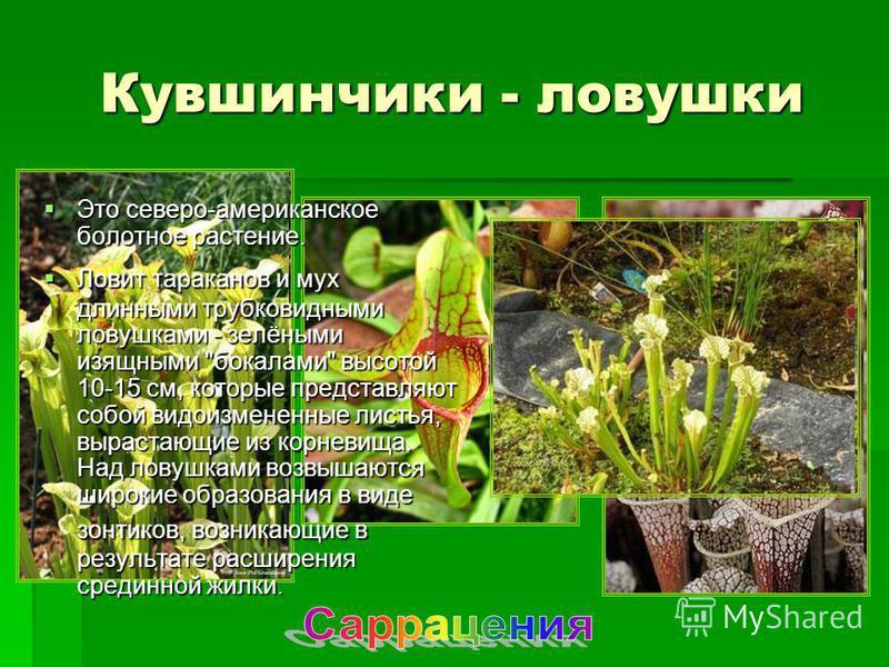 Кувшинчики - ловушки Это северо-американское болотное растение. Это северо-американское болотное растение. Ловит тараканов и мух длинными трубковидными ловушками - зелёными изящными