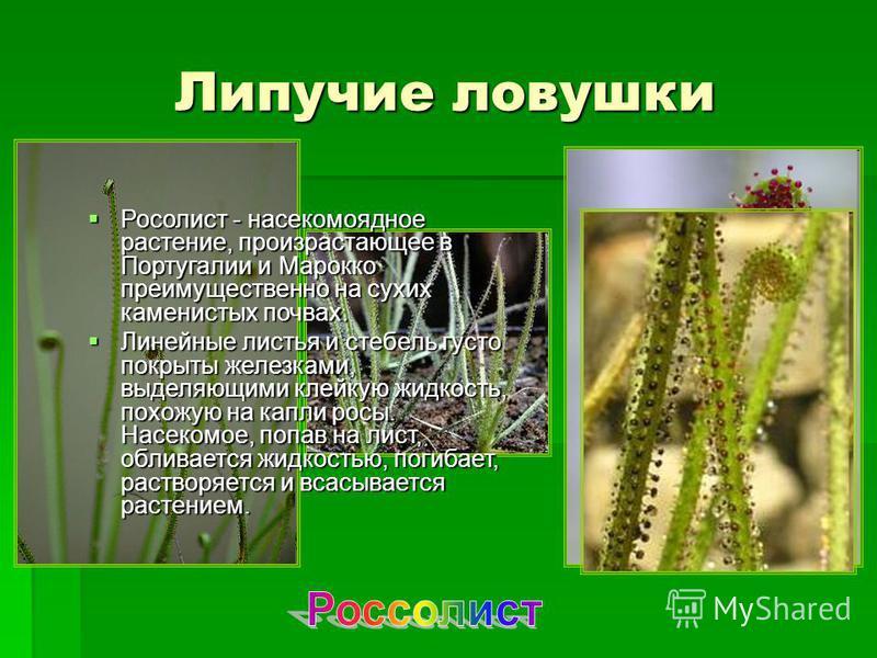 Липучие ловушки Росолист - насекомоядное растение, произрастающее в Португалии и Марокко преимущественно на сухих каменистых почвах. Росолист - насекомоядное растение, произрастающее в Португалии и Марокко преимущественно на сухих каменистых почвах.