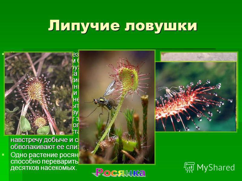В центре листа железистые волоски короткие, а по краям более длинные. Головку волоска окружает прозрачная капелька густой липкой тягучей слизи. Мелкие мухи или муравьи, привлеченные блеском этих капелек, садятся или вползают на лист и прилипают к нем