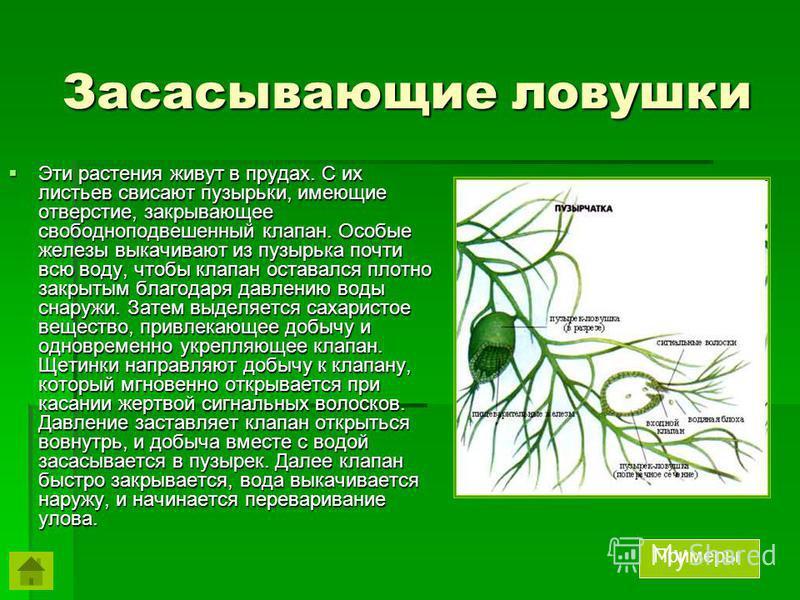 Засасывающие ловушки Эти растения живут в прудах. С их листьев свисают пузырьки, имеющие отверстие, закрывающее свободноподвешенный клапан. Особые железы выкачивают из пузырька почти всю воду, чтобы клапан оставался плотно закрытым благодаря давлению