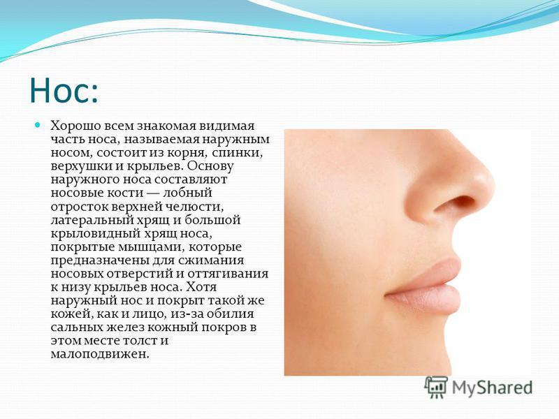 Нос: Хорошо всем знакомая видимая часть носа, называемая наружным носом, состоит из корня, спинки, верхушки и крыльев. Основу наружного носа составляют носовые кости лобный отросток верхней челюсти, латеральный хрящ и большой крыловидный хрящ носа, п