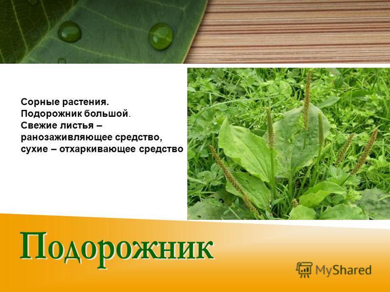 Сорные растения. Подорожник большой. Свежие листья – ранозаживляющее средство, сухие – отхаркивающее средство