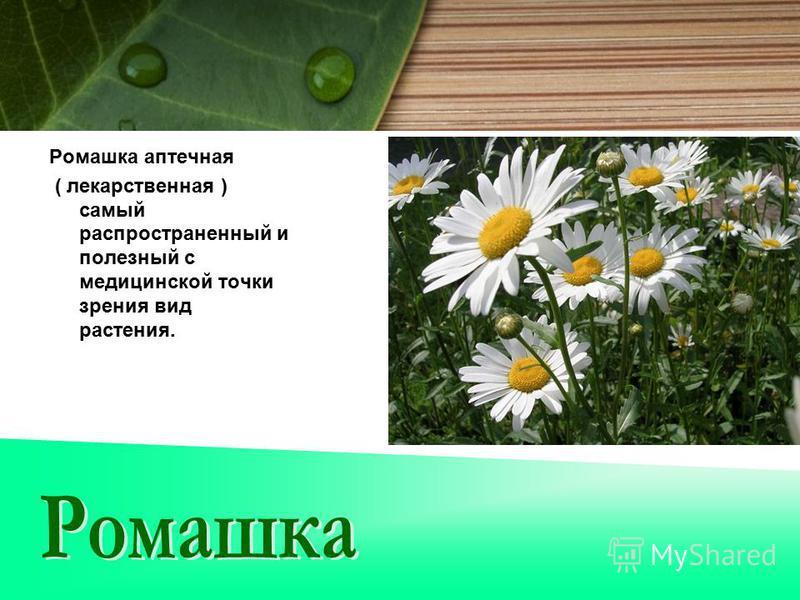Ромашка аптечная ( лекарственная ) самый распространенный и полезный с медицинской точки зрения вид растения.