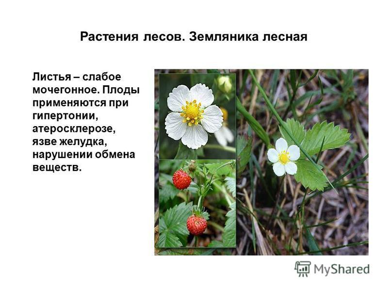Растения лесов. Земляника лесная Листья – слабое мочегонное. Плоды применяются при гипертонии, атеросклерозе, язве желудка, нарушении обмена веществ.