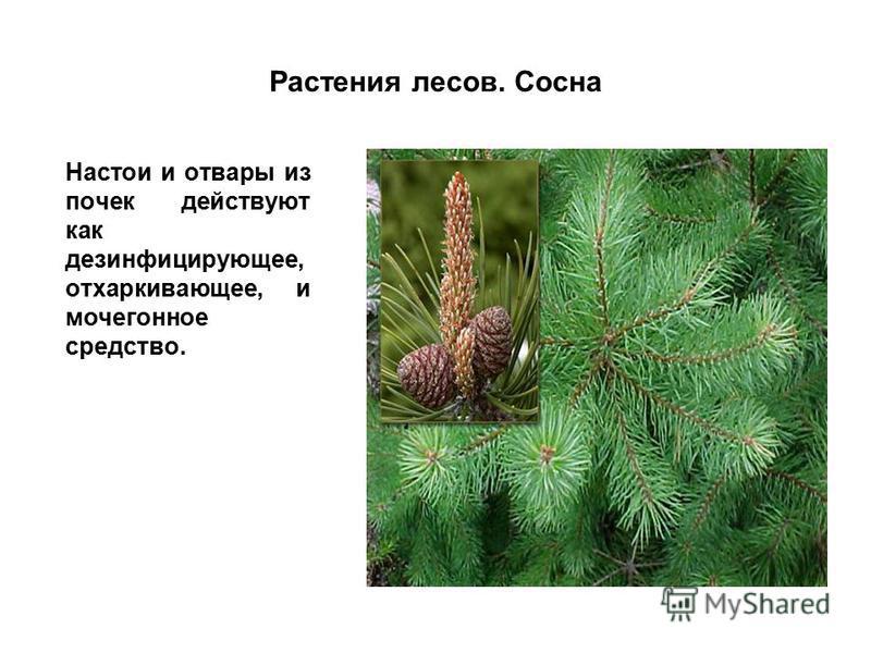 Растения лесов. Сосна Настои и отвары из почек действуют как дезинфицирующее, отхаркивающее, и мочегонное средство.