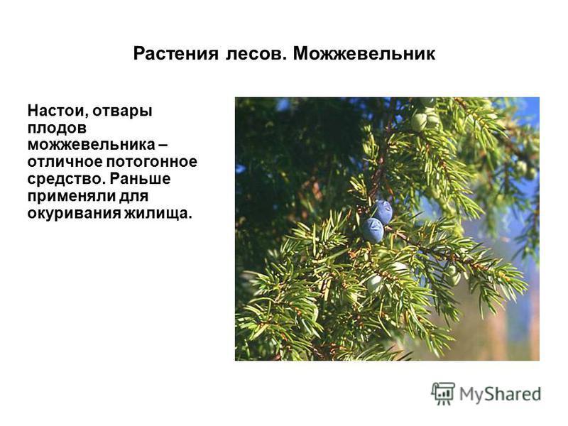 Растения лесов. Можжевельник Настои, отвары плодов можжевельника – отличное потогонное средство. Раньше применяли для окуривания жилища.