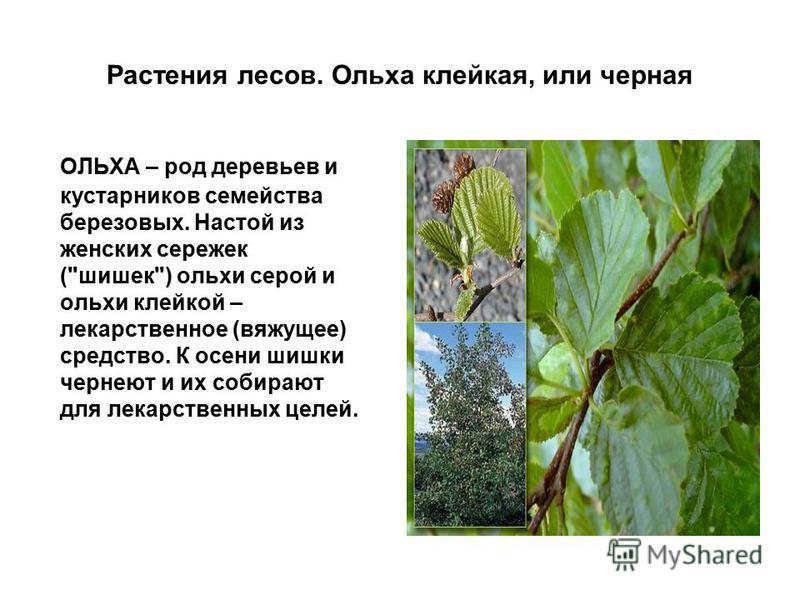 Растения лесов. Ольха клейкая, или черная ОЛЬХА – род деревьев и кустарников семейства березовых. Настой из женских сережек (