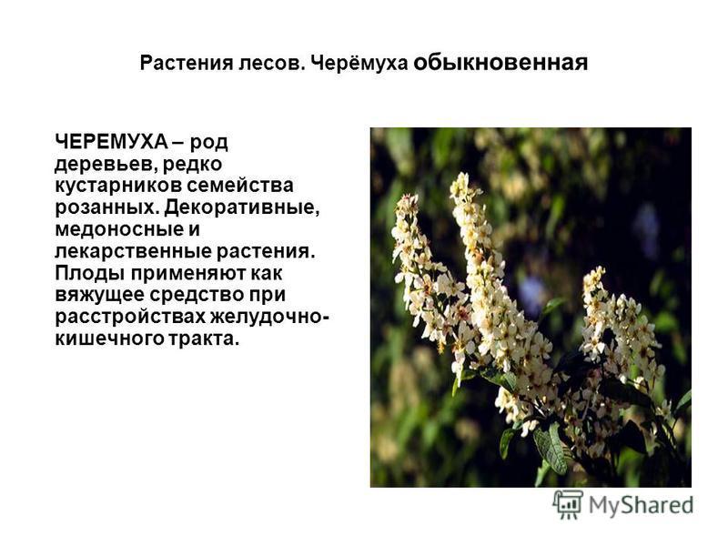 Растения лесов. Черёмуха обыкновенная ЧЕРЕМУХА – род деревьев, редко кустарников семейства розанных. Декоративные, медоносные и лекарственные растения. Плоды применяют как вяжущее средство при расстройствах желудочно- кишечного тракта.