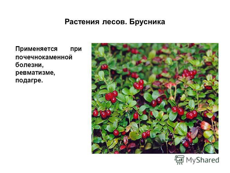 Растения лесов. Брусника Применяется при почечнокаменной болезни, ревматизме, подагре.
