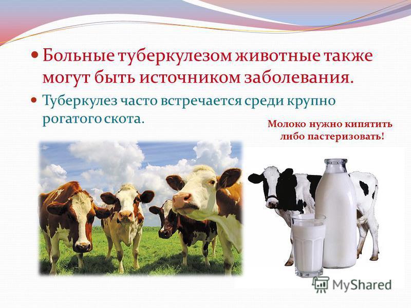 Больные туберкулезом животные также могут быть источником заболевания. Туберкулез часто встречается среди крупно рогатого скота. Молоко нужно кипятить либо пастеризовать!