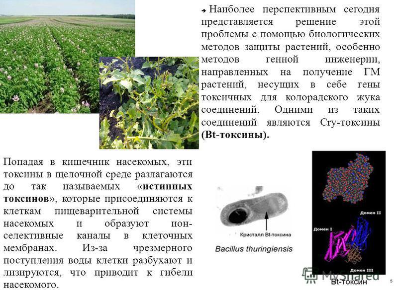 Наиболее перспективным сегодня представляется решение этой проблемы с помощью биологических методов защиты растений, особенно методов генной инженерии, направленных на получение ГМ растений, несущих в себе гены токсичных для колорадского жука соедине