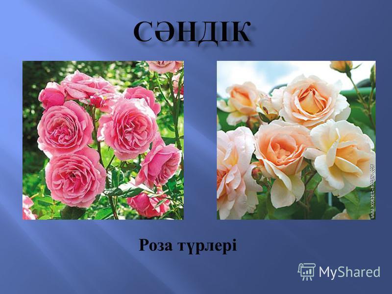 Роза түрлері