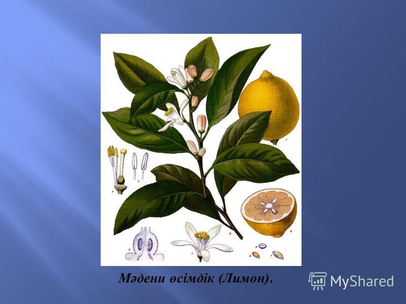Мәдени өсімдік ( Лимон ).